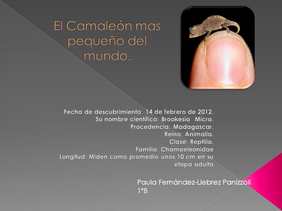 El Camaleón mas pequeño del mundo.