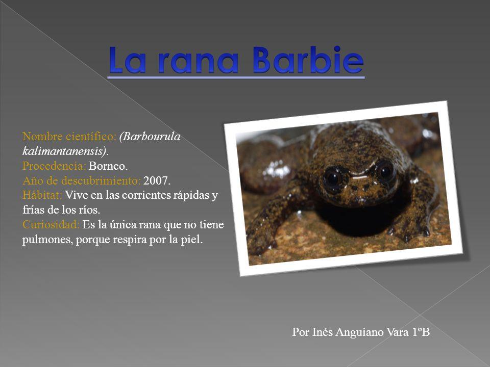 La rana Barbie Nombre científico: (Barbourula kalimantanensis).