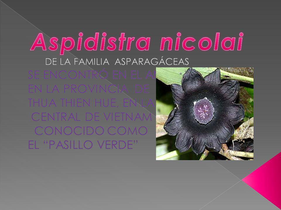 Aspidistra nicolai DE LA FAMILIA ASPARAGÁCEAS