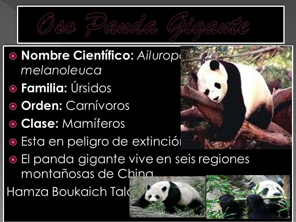 Oso Panda Gigante Nombre Científico: Ailuropoda melanoleuca