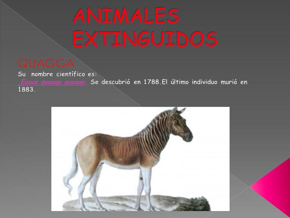 ANIMALES EXTINGUIDOS QUAGGA Su nombre científico es: