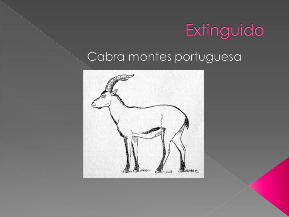 Cabra montes portuguesa