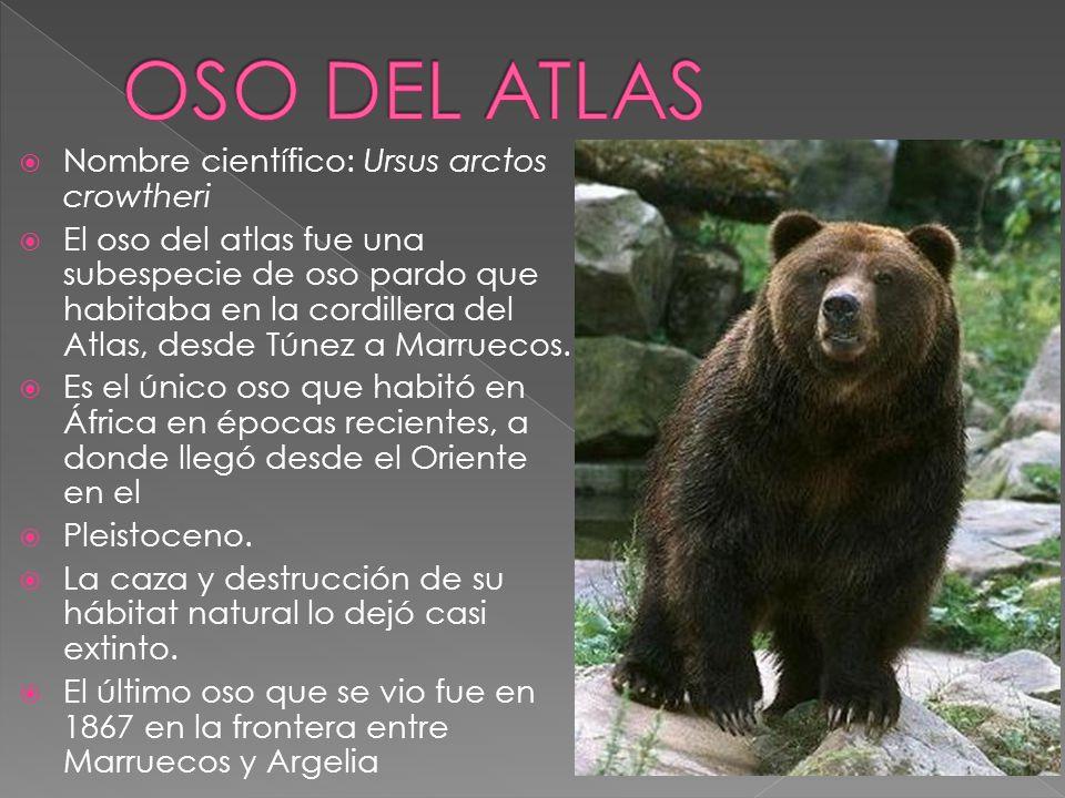 OSO DEL ATLAS Nombre científico: Ursus arctos crowtheri
