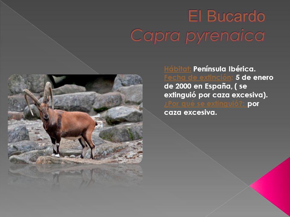 El Bucardo Capra pyrenaica