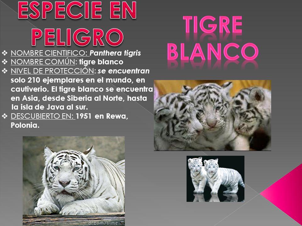 ESPECIE EN PELIGRO Tigre blanco