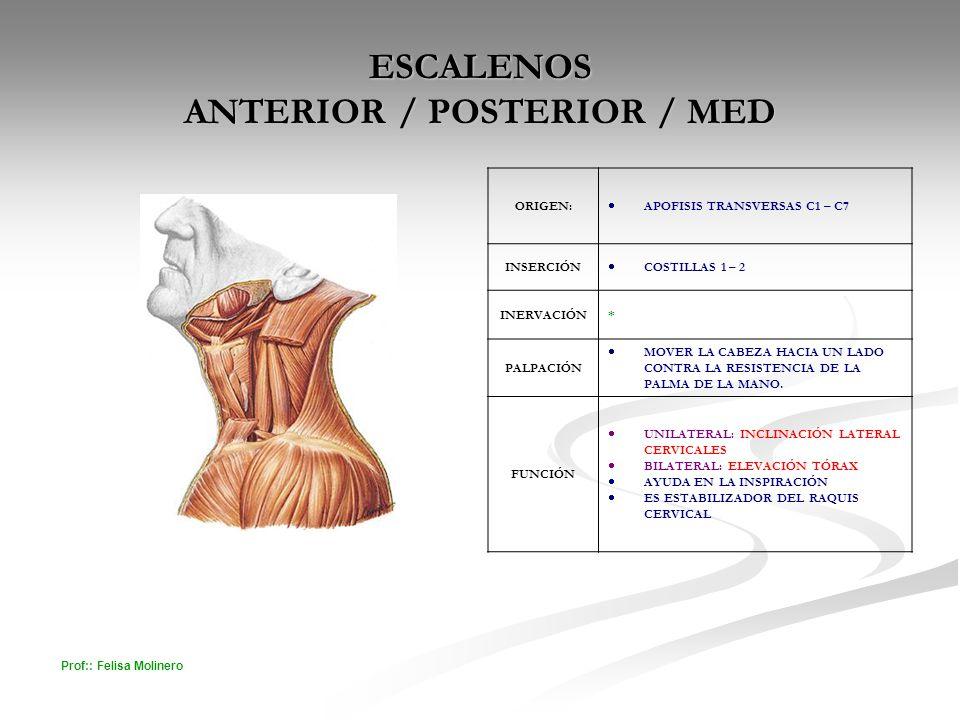 ESCALENOS ANTERIOR / POSTERIOR / MED