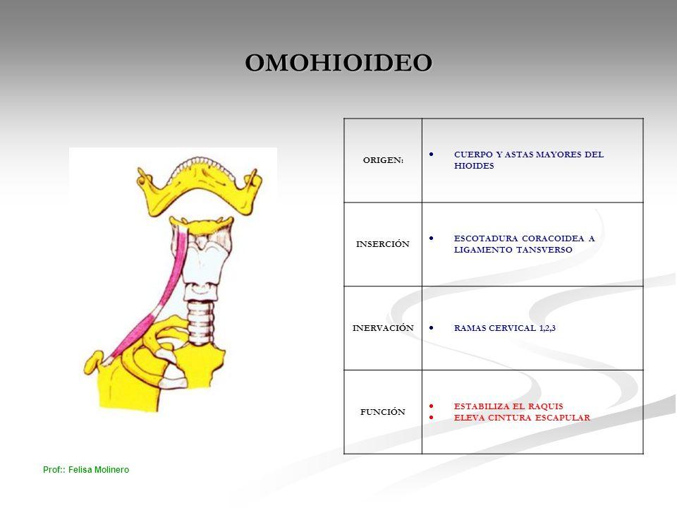 OMOHIOIDEO ORIGEN: CUERPO Y ASTAS MAYORES DEL HIOIDES INSERCIÓN