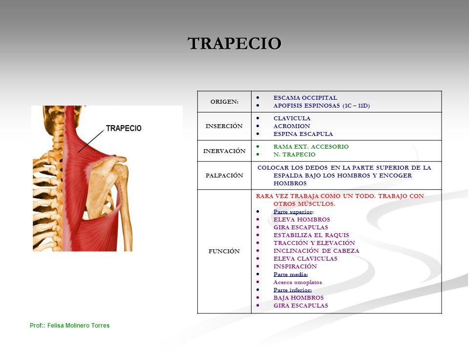 TRAPECIO ESCAMA OCCIPITAL ORIGEN: APOFISIS ESPINOSAS (1C – 11D)