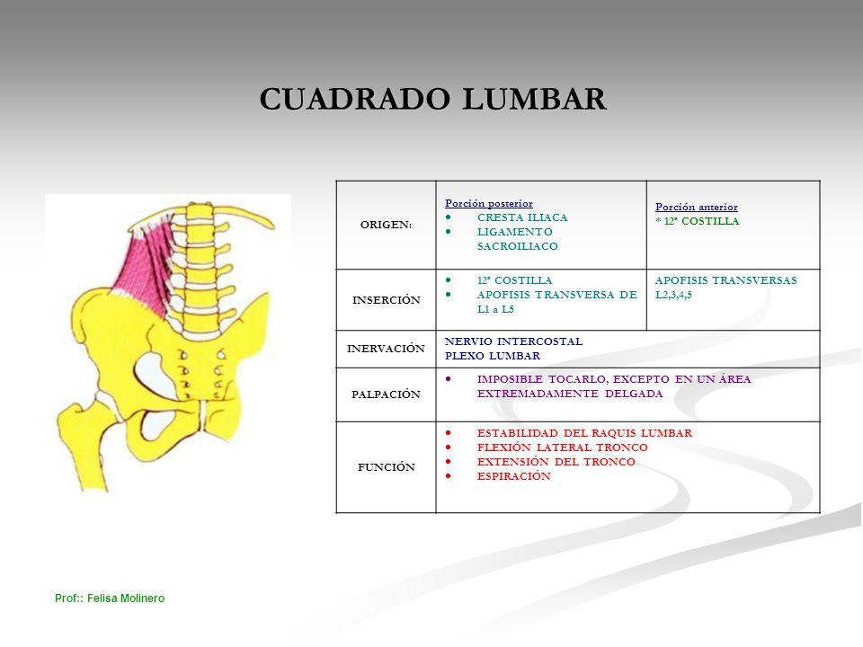 CUADRADO LUMBAR ORIGEN: Porción posterior CRESTA ILIACA