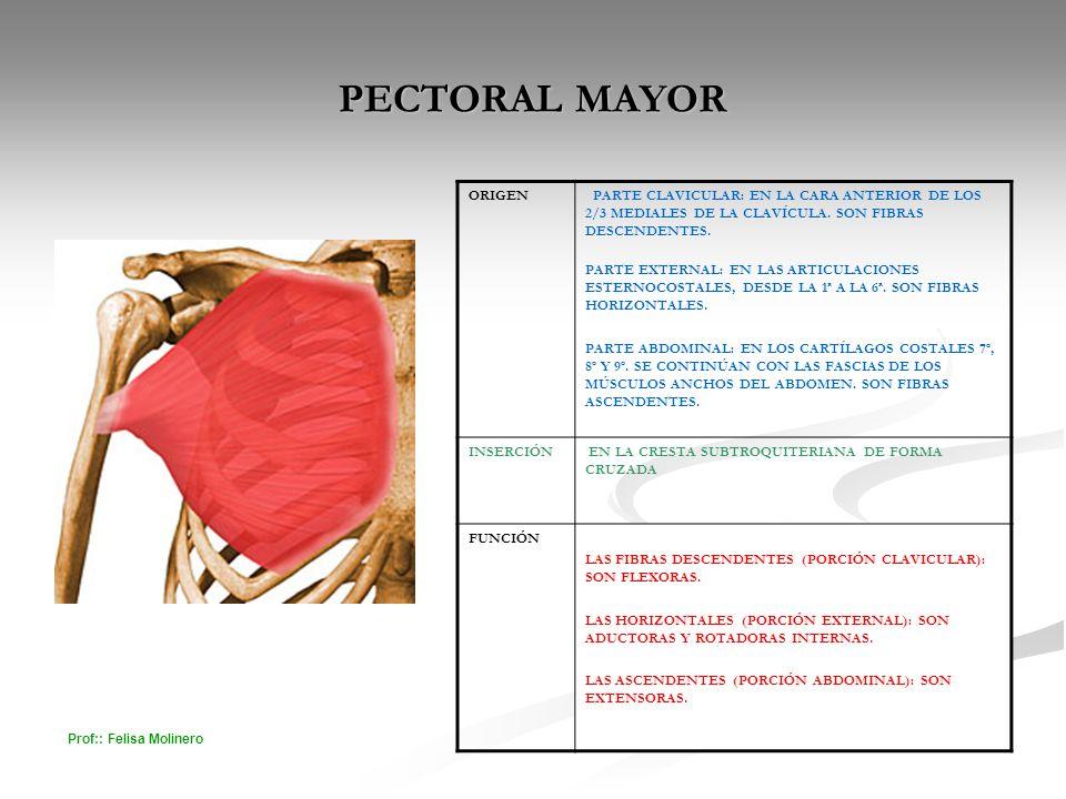 PECTORAL MAYOR ORIGEN. PARTE CLAVICULAR: EN LA CARA ANTERIOR DE LOS 2/3 MEDIALES DE LA CLAVÍCULA. SON FIBRAS DESCENDENTES.