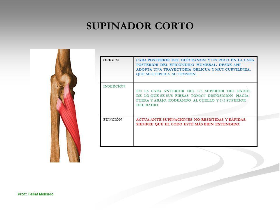 SUPINADOR CORTO ORIGEN