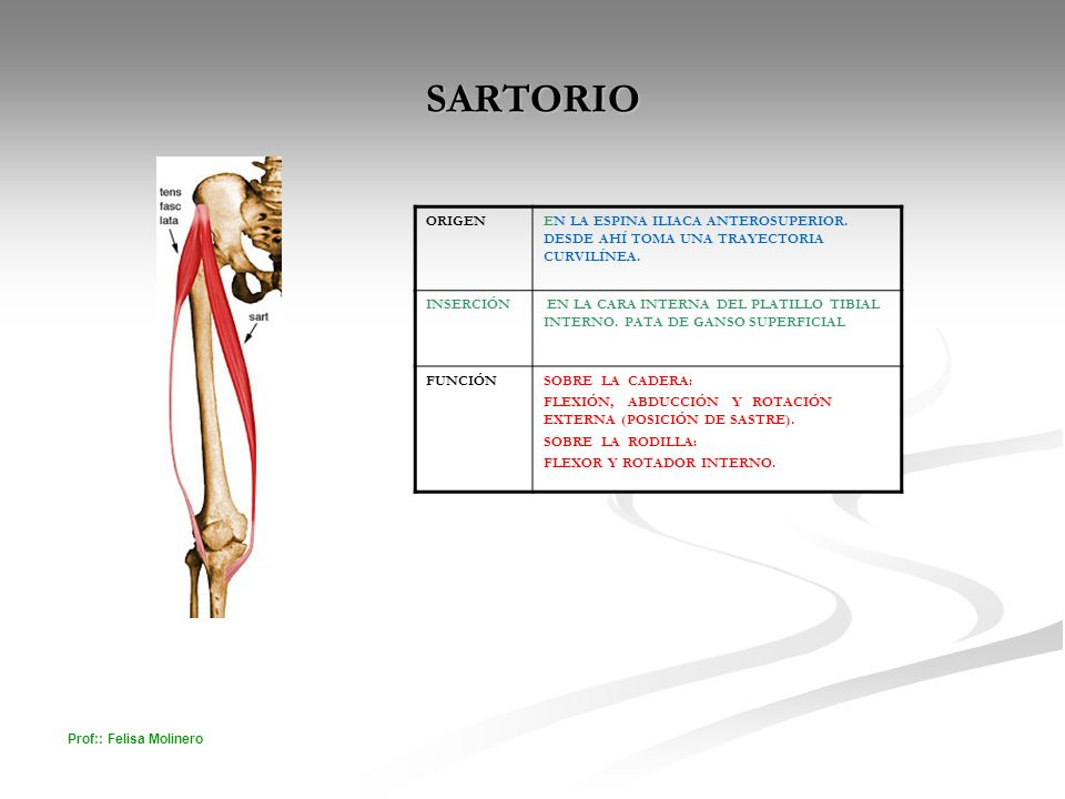 SARTORIO ORIGEN. EN LA ESPINA ILIACA ANTEROSUPERIOR. DESDE AHÍ TOMA UNA TRAYECTORIA CURVILÍNEA. INSERCIÓN.