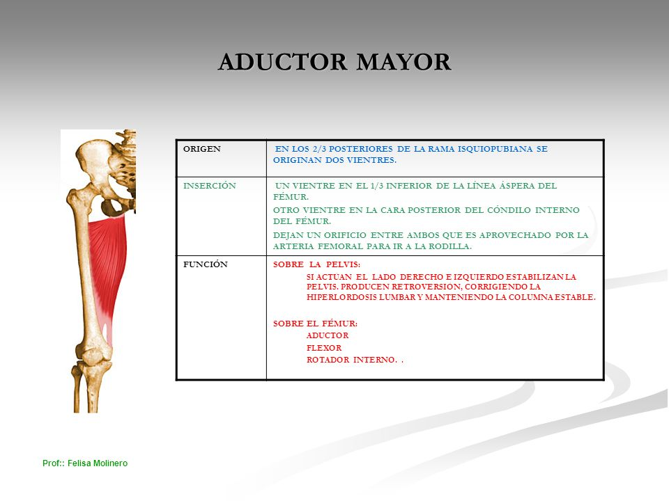 ADUCTOR MAYOR ORIGEN. EN LOS 2/3 POSTERIORES DE LA RAMA ISQUIOPUBIANA SE ORIGINAN DOS VIENTRES. INSERCIÓN.