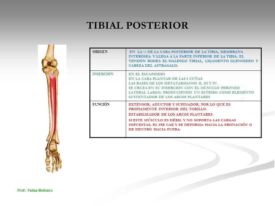 Funcion Musculo Tibial Posterior – Pretty Girls