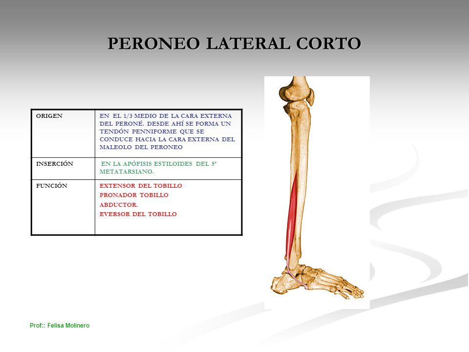 PERONEO LATERAL CORTO ORIGEN