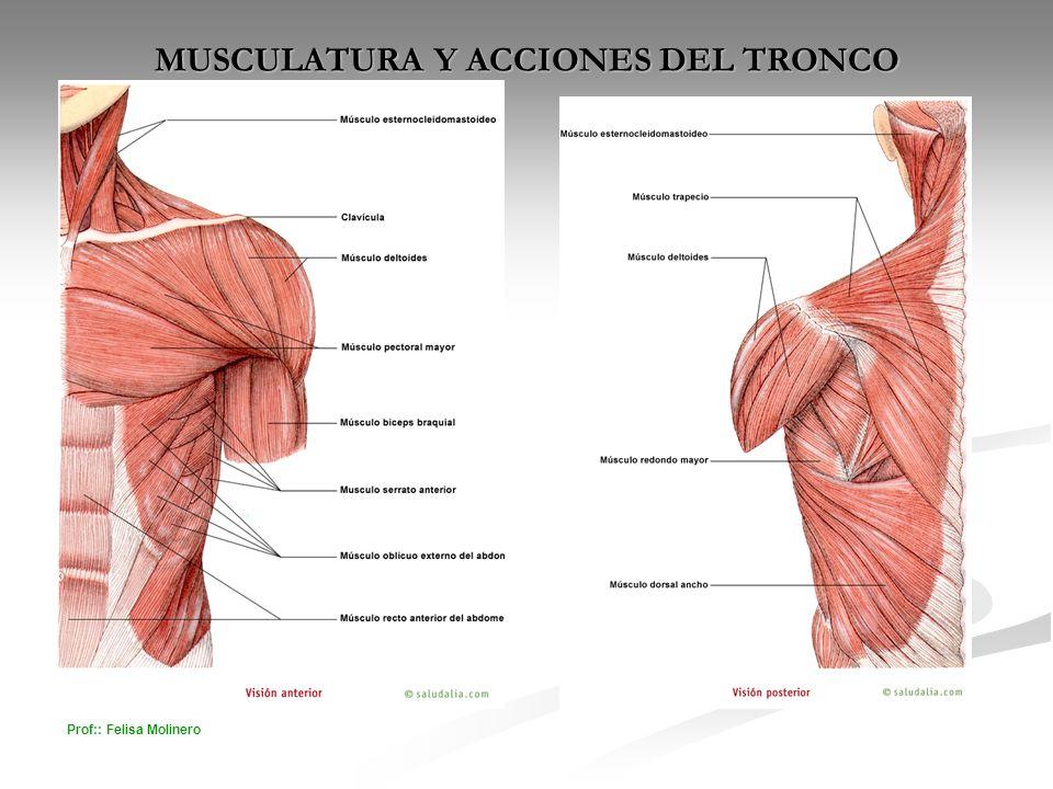 MUSCULATURA Y ACCIONES DEL TRONCO