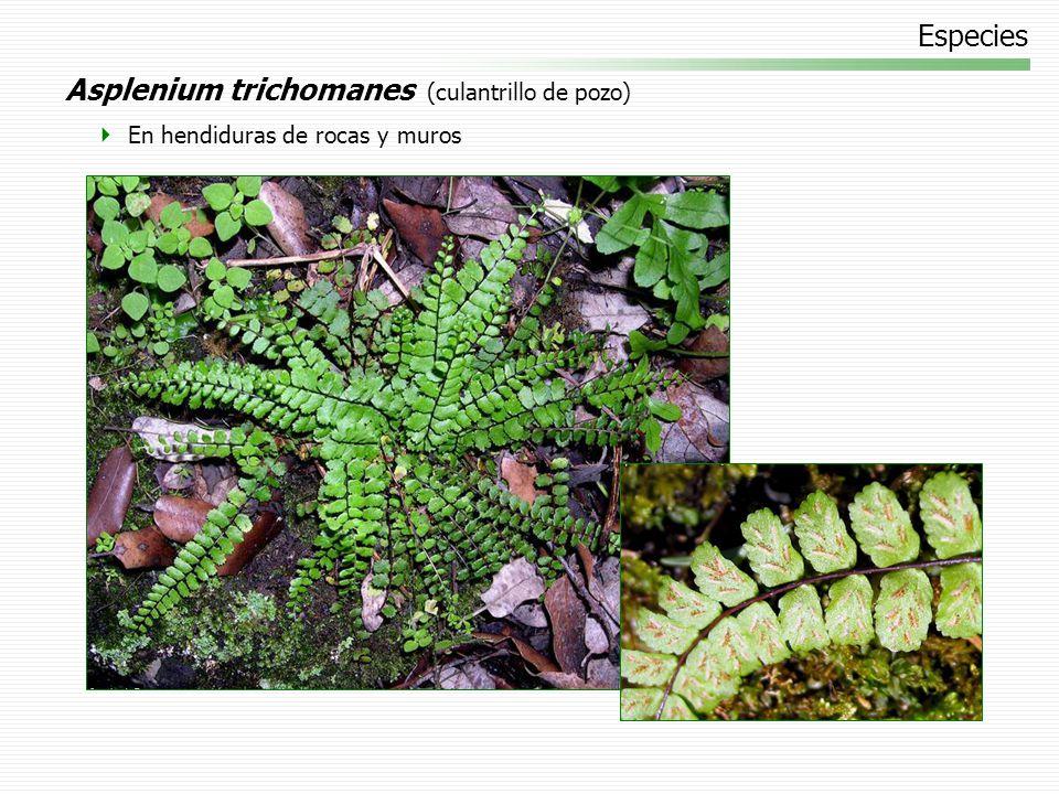 Asplenium trichomanes (culantrillo de pozo)