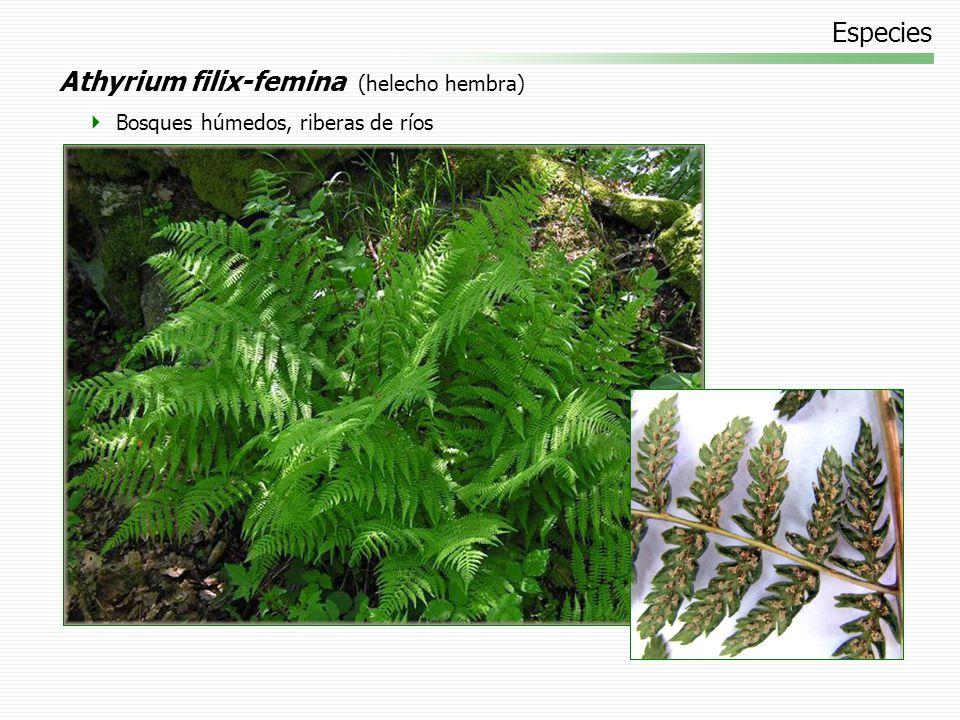 Athyrium filix-femina (helecho hembra)