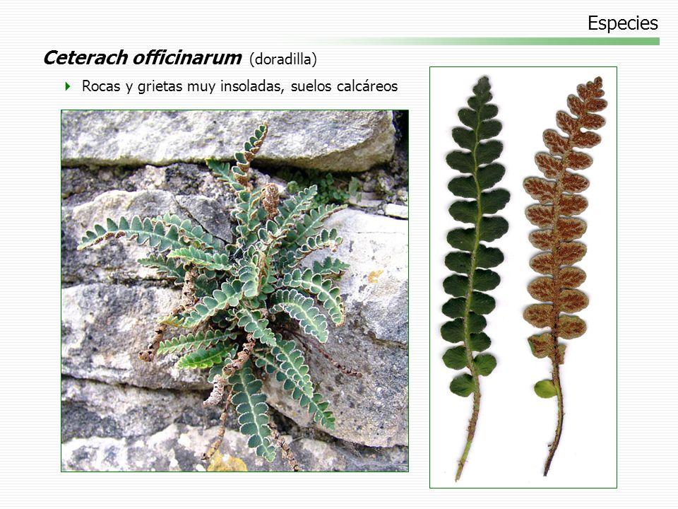 Ceterach officinarum (doradilla)