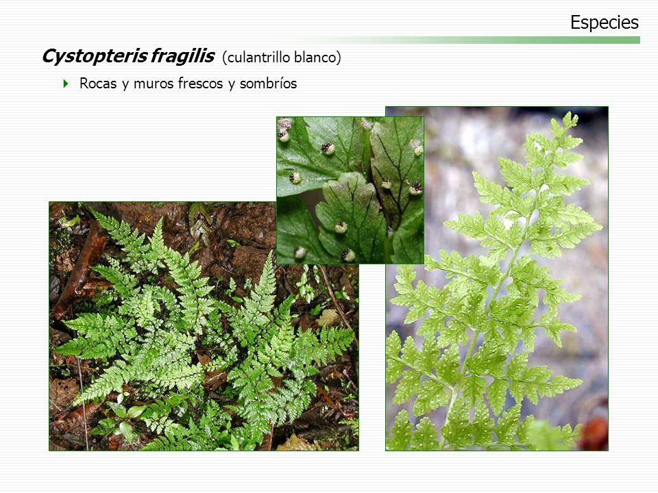Cystopteris fragilis (culantrillo blanco)