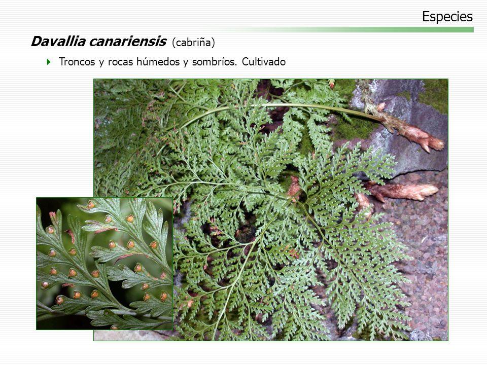 Davallia canariensis (cabriña)