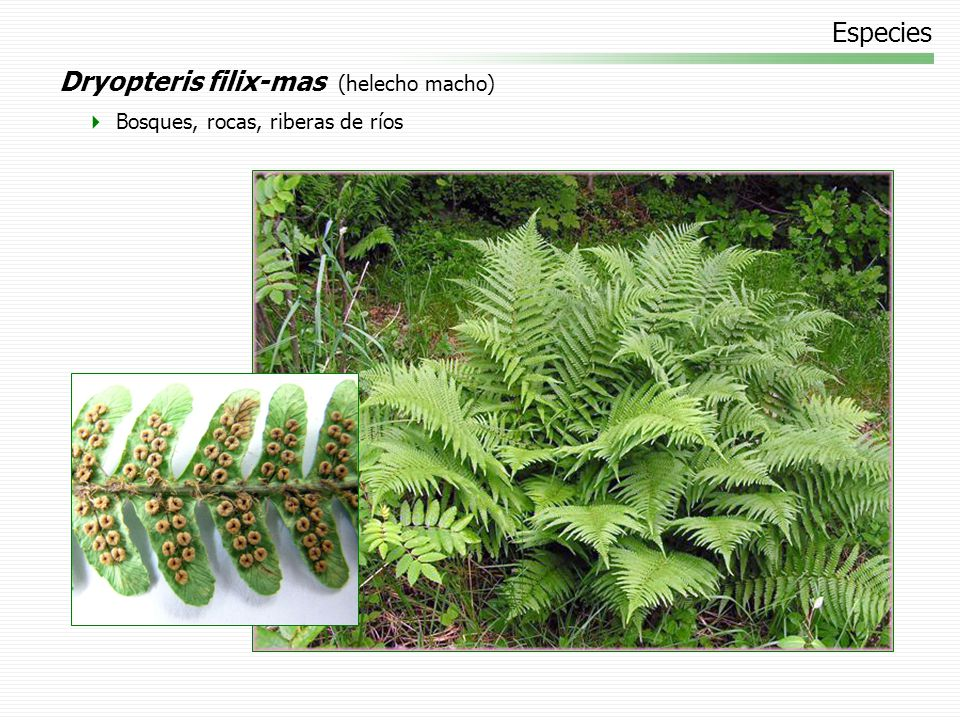 Dryopteris filix-mas (helecho macho)
