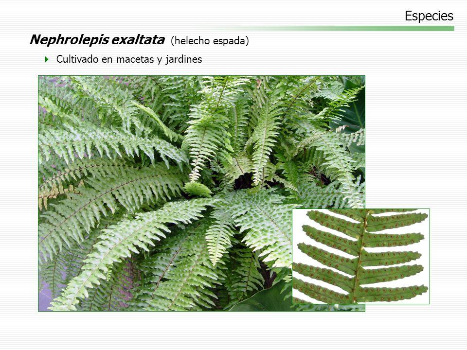 Nephrolepis exaltata (helecho espada)
