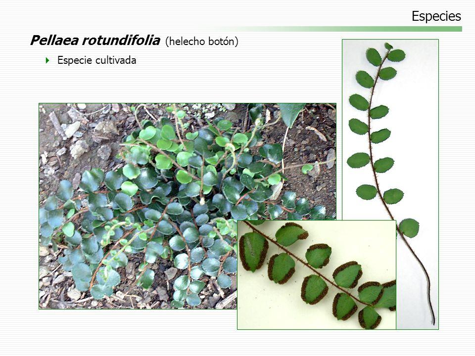 Pellaea rotundifolia (helecho botón)