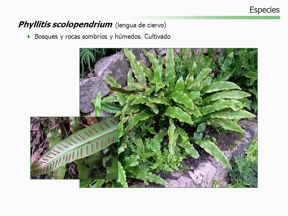 Phyllitis scolopendrium (lengua de ciervo)