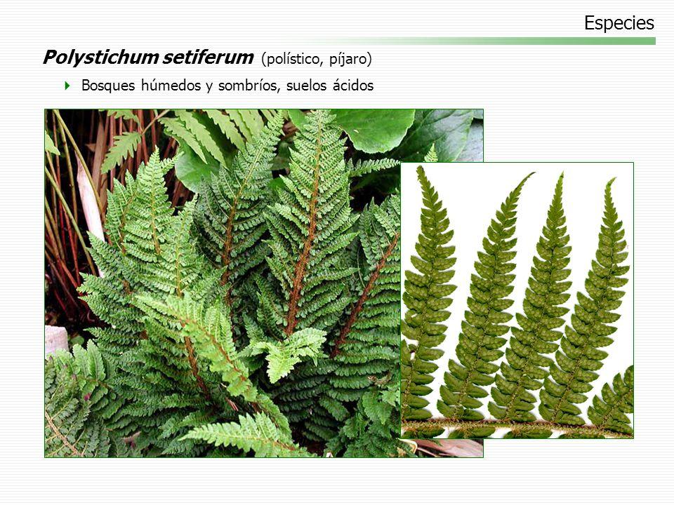 Polystichum setiferum (polístico, píjaro)