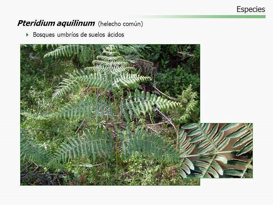 Pteridium aquilinum (helecho común)