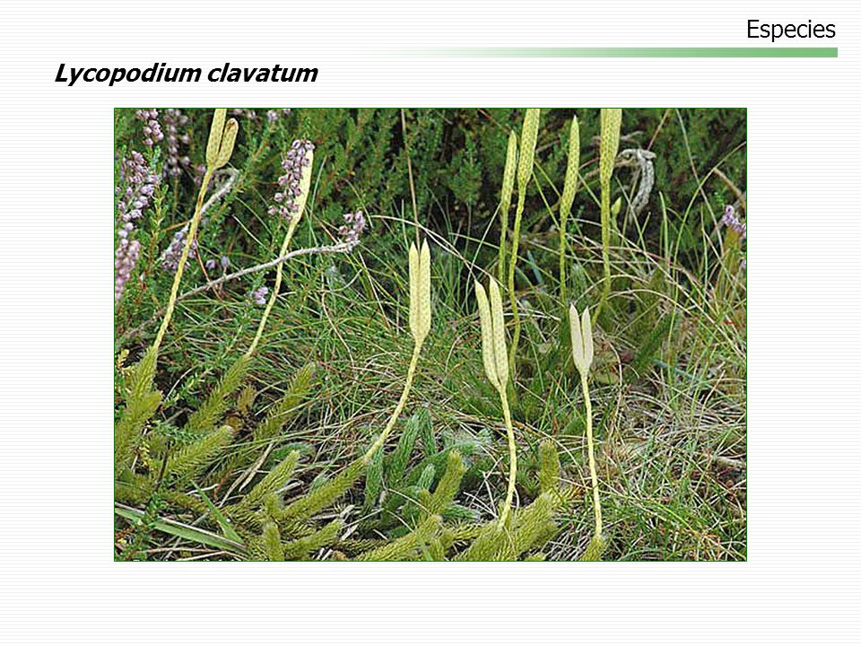 Especies Lycopodium clavatum