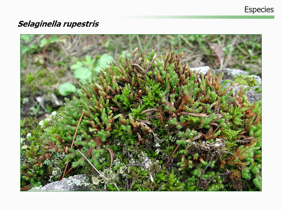 Especies Selaginella rupestris