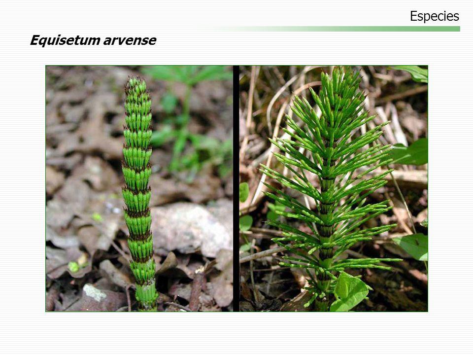 Especies Equisetum arvense