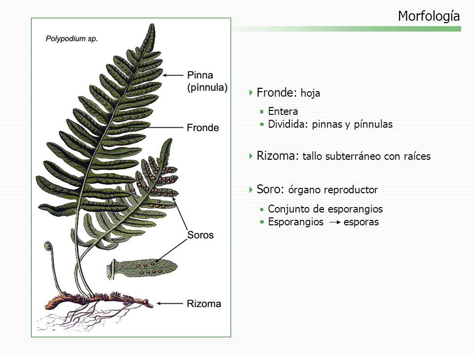 Morfología Fronde: hoja Rizoma: tallo subterráneo con raíces