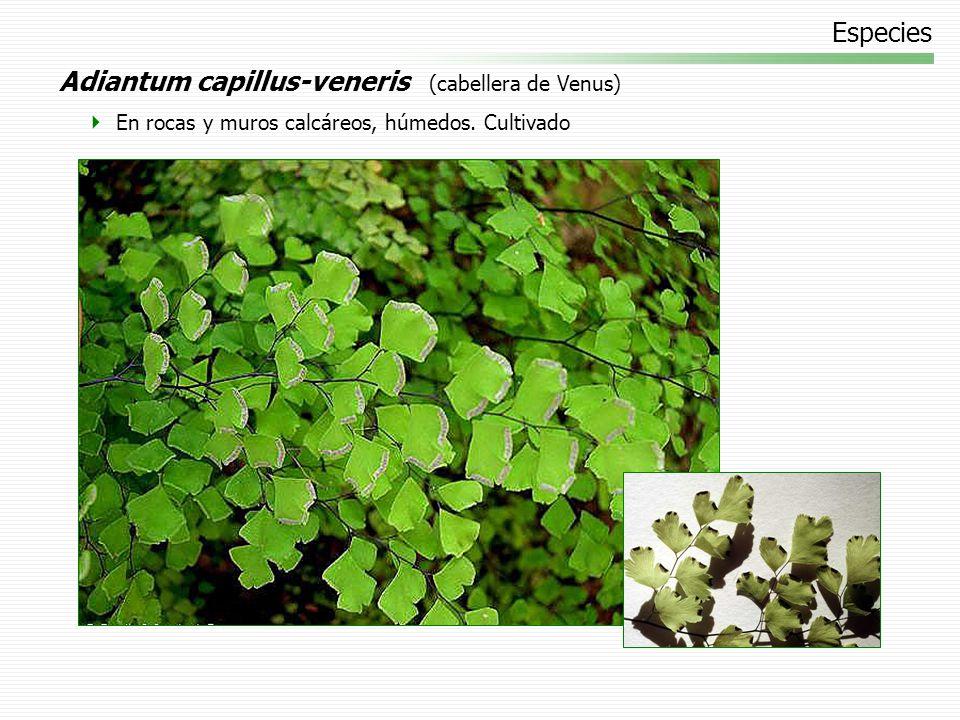 Adiantum capillus-veneris (cabellera de Venus)