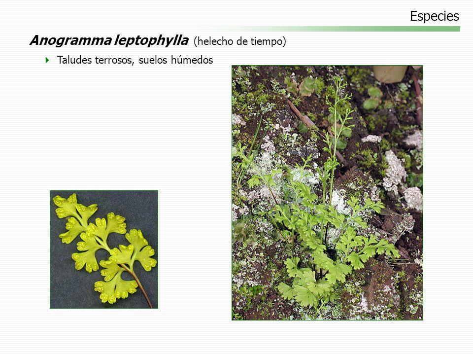 Anogramma leptophylla (helecho de tiempo)