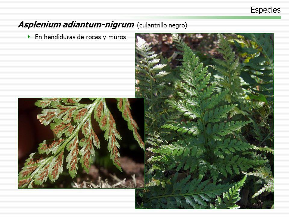 Asplenium adiantum-nigrum (culantrillo negro)