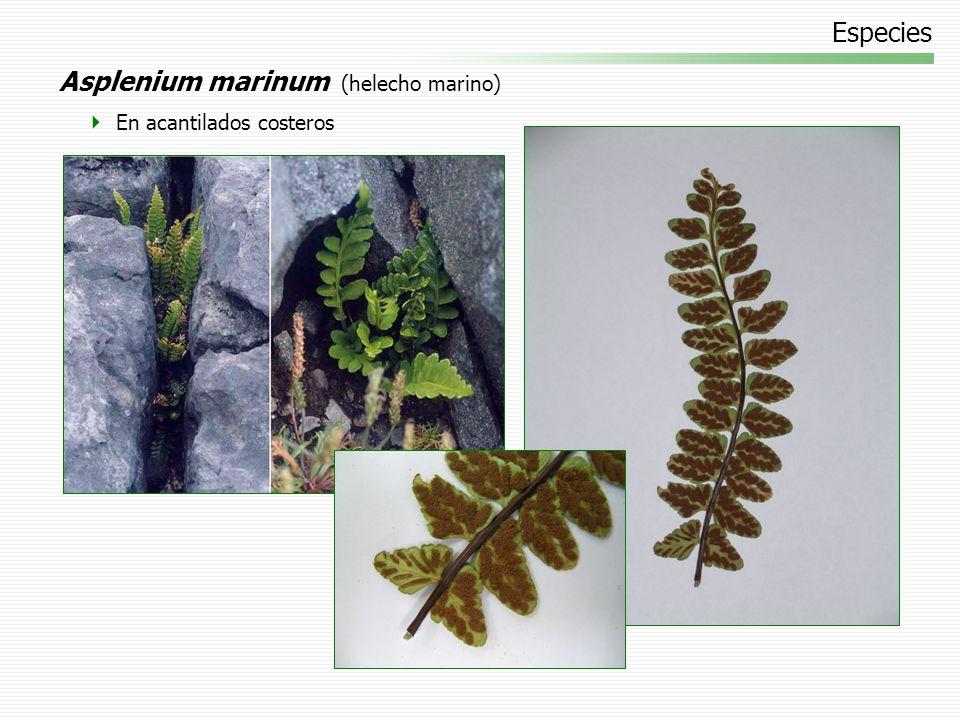 Asplenium marinum (helecho marino)