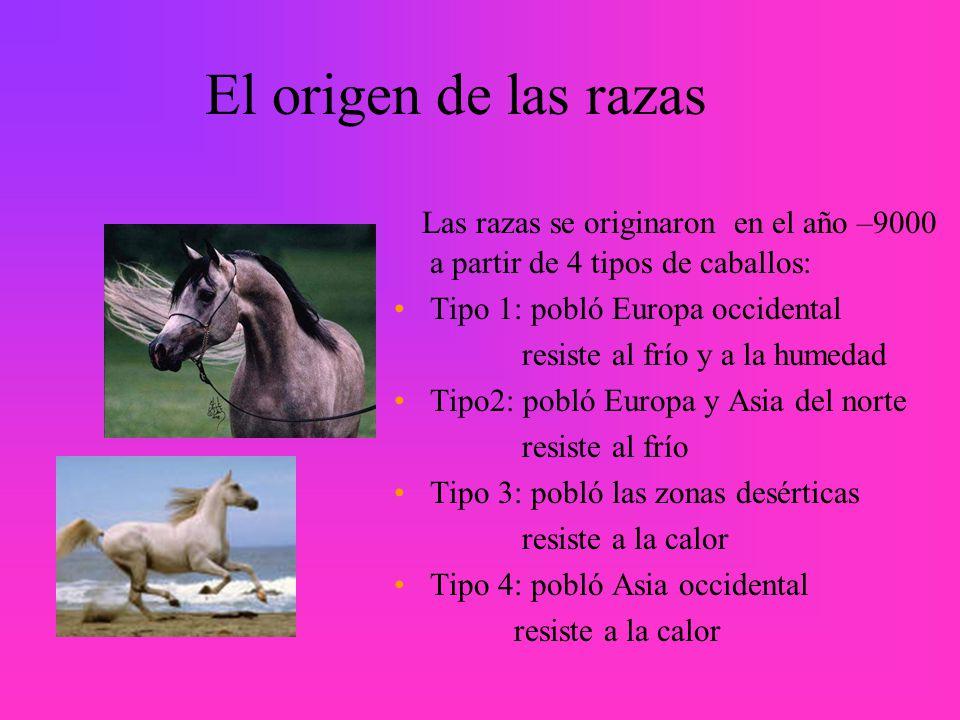 El origen de las razas Las razas se originaron en el año –9000 a partir de 4 tipos de caballos: Tipo 1: pobló Europa occidental.