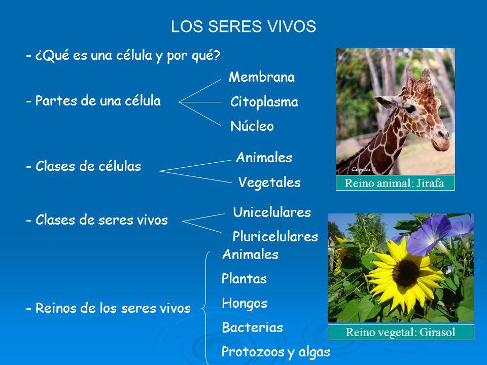 Reino vegetal: Girasol