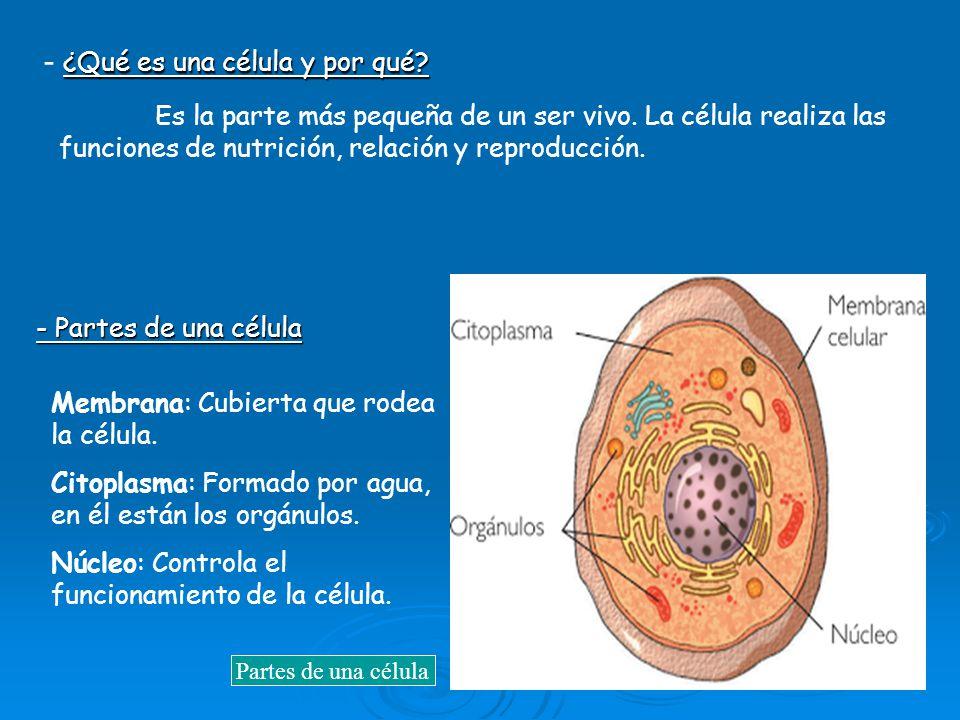 - ¿Qué es una célula y por qué