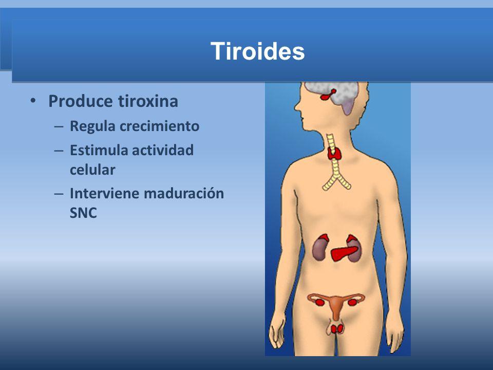 Tiroides Tiroides Produce tiroxina Regula crecimiento