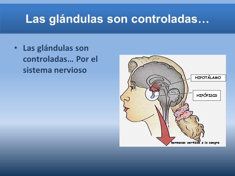 Las glándulas son controladas…