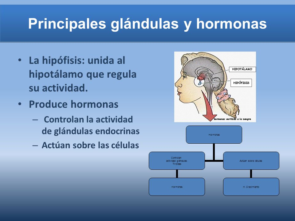 Principales glándulas y hormonas