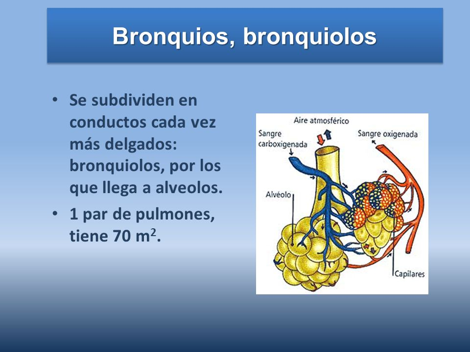 Bronquios, bronquiolos