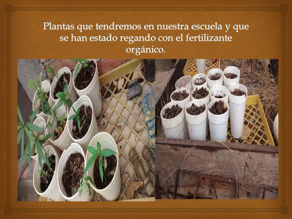 Plantas que tendremos en nuestra escuela y que se han estado regando con el fertilizante orgánico.