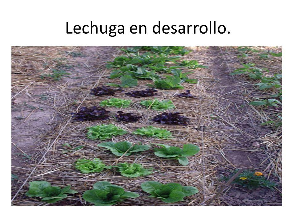Lechuga en desarrollo.