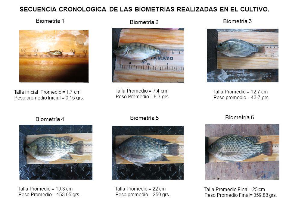 SECUENCIA CRONOLOGICA DE LAS BIOMETRIAS REALIZADAS EN EL CULTIVO.