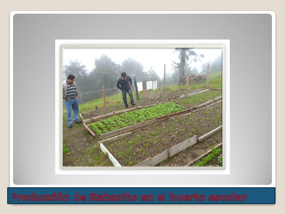 Producción de Rabanito en el huerto escolar